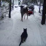Un chat feint le calme lors de sa première rencontre avec un cerf (Vidéo du jour)