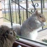 Des copains cochon d'inde et chat tentent d'attirer un écureuil dans leur bande (Vidéo du jour)
