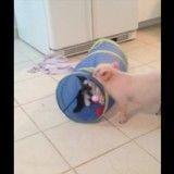 Tendre séance de jeu entre un chaton et son meilleur copain cochon (Vidéo du jour)