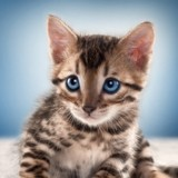 10 chatons Bengal vraiment trop mignons