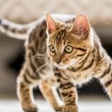 Le Bon Coin : elle achète un chat Bengal une fortune et comprend son erreur plusieurs semaines après