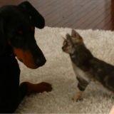 Le chaton ninja et le Dobermann très patient (Vidéo du jour)