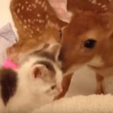 Quand un chat et un faon se prennent d'amour l'un pour l'autre