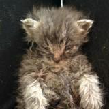 Ce minuscule chaton ne devait pas survivre, mais l'impossible s'est produit