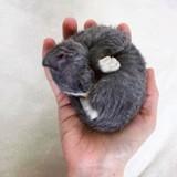 Ce minuscule chaton ressemble plus à un jouet en peluche qu'à un chat