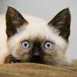10 chatons siamois absolument craquants (Photos)
