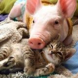 Incroyable : ce chaton partage une merveilleuse amitié avec… un cochon ! (Vidéo du jour)