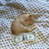 Un chaton à peine plus grand qu'un billet d'un dollar vole au secours de son maître