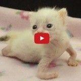 Unique survivant de la portée, ce chaton aux pattes tordues est un miraculé (Vidéo du jour)