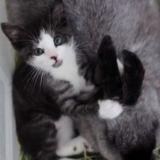 Orphelin, cet adorable chaton a été élevé avec des lapins et se comporte maintenant comme eux !
