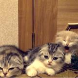 Un bâillement contagieux chez des chatons, ça donne quoi ? (Vidéo du jour)
