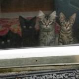Des chatons innocents ? Dès leur arrivée dans la famille d'accueil, leur plan machiavélique apparait !