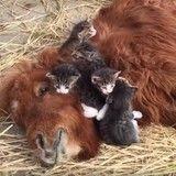 Intense moment de tendresse entre des chatons et un poney inséparables (Vidéo du jour)