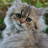Votre chat a la tête penchée ? Un vétérinaire vous conseille !