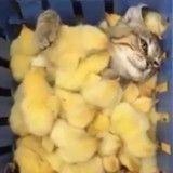 Un chat, des poussins… tout pour réchauffer le cœur ! (Vidéo du jour)