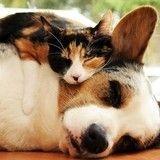Ces 25 chats qui dorment sur des chiens sont vraiment les plus mignons !