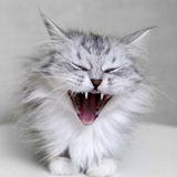 3 idées reçues sur la santé bucco-dentaire de votre chat