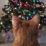 Pourquoi les chats aiment-ils tant Noël ? Explications (Vidéo du jour)
