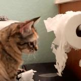 Les chats et le papier toilette... une grande histoire d'amour ! (Vidéo du jour)