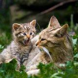 Faire cohabiter une chatte et son petit, une bonne idée ?