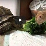 Un adorable chat petit-déjeune avec son amie la tortue (Vidéo du jour)