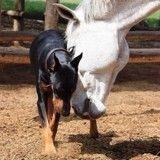 Le chien qui murmurait à l'oreille des chevaux (Vidéo du jour)