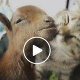 Un chat donne beaucoup d'amour à un chevreau issu d'un sauvetage (Vidéo du jour)