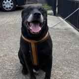Après 10 ans de vie commune, il abandonne son chien Labrador dans la rue avec un petit mot déchirant
