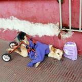 Ce chien paralysé a été jeté dans la rue avec un sac de couches et son fauteuil roulant délabré