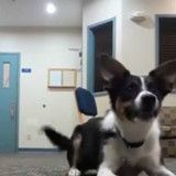 Incroyable ! Pour ne pas déranger, ce chien a appris à aboyer en silence (Vidéo)