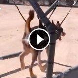 Malgré leur handicap, ces chiennes apprennent à marcher (Vidéo du jour)