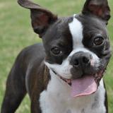 La castration du chien : pourquoi et comment faire stériliser son animal?