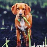Les chiens peuvent-ils manger les asperges ?