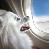 Ce chien de service a fait sensation à bord d'un avion