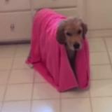 Quand un chiot Golden Retriever prend son bain… (Vidéo du jour)