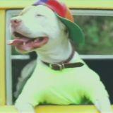 Le chien de Bel Air, ou quand un Pitbull se prend pour Will Smith ! (Vidéo du jour)