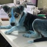 Un chien bleu débarque à la clinique vétérinaire et laisse tout le monde sans voix