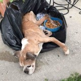 Les membres du refuge trouvent un chien dans un sac poubelle, ce qui se passe après est encore pire