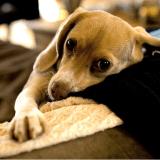 Le burn-out, un mal qui touche aussi les chiens