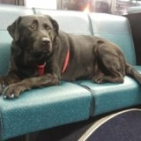 Le Labrador prend le bus seul chaque jour. Quand il descend, tout le monde a un déclic