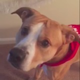 Le chien renifle quelque chose de suspect sous une couverture, quand il voit ce qui est caché c'est le choc