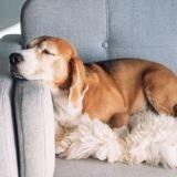 10 races de chiens qui préfèrent faire la sieste plutôt que de faire du sport !