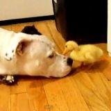 Un pitbull et un canard se font des bisous (Vidéo du jour)