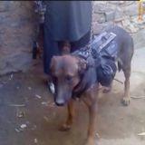 Un chien militaire capturé par les talibans en Afghanistan