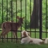 Elle voit son chien avec un faon, l'appelle puis comprend qu'elle avait tout faux (Vidéo du jour)