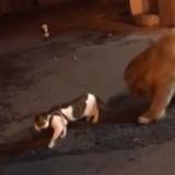 Ce chien empêche une bagarre entre deux chats, la vidéo fait le tour du monde