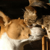10 races de chiens qui s'entendent bien avec les chats