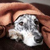 Le cholestérol chez le chien : symptômes, causes et traitement
