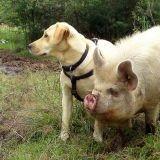 Votre chien aboie ? Mettez-lui du parfum de cochon !