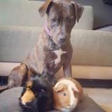 Elle adopte un chien Pitbull, le présente à ses cochons d'Inde et n'en croit pas ses yeux